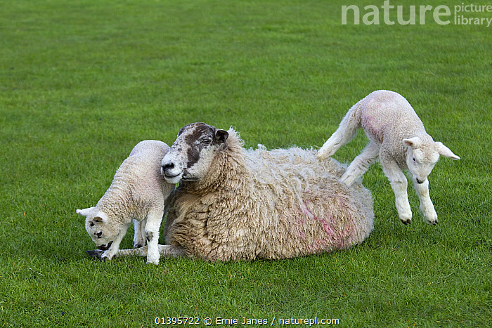 Domestic sheep (Ovis aries) lambs in meadow playing, with one jumping on Ewe, Norfolk, UK, March.  ,  ARTIODACTYLA,BABIES,BOVIDAE,ENGLAND,EUROPE,GRASS,GREEN,GROUPS,JUMPING,JUVENILE,LIVESTOCK,MAMMALS,PLAY,PLAYING,SHEEP,SPRING,UK,VERTEBRATES,YOUNG,Plants,Communication,United Kingdom,Goats,Antelopes  ,  Ernie Janes
