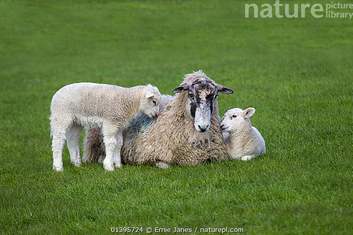 Domestic sheep (Ovis aries) lambs in meadow with Ewe, Norfolk, UK, March.  ,  AFFECTIONATE,ARTIODACTYLA,BABIES,BOVIDAE,ENGLAND,EUROPE,GRASS,GREEN,GROUPS,JUVENILE,LIVESTOCK,MAMMALS,PLAY,PLAYING,SHEEP,SPRING,UK,VERTEBRATES,YOUNG,Plants,Communication,United Kingdom,Goats,Antelopes  ,  Ernie Janes