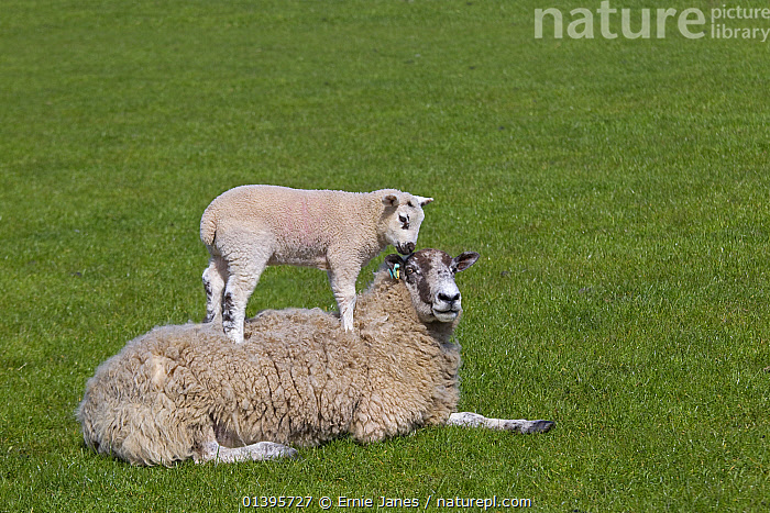 Domestic sheep (Ovis aries) lambs in meadow playing, with one standing on Ewe, Norfolk, UK, March.  ,  BABIES,ENGLAND,EUROPE,GRASS,GREEN,GROUPS,JUVENILE,PLAY,PLAYING,SPRING,UK,YOUNG,Plants,Communication,United Kingdom,Goats,Antelopes  ,  Ernie Janes