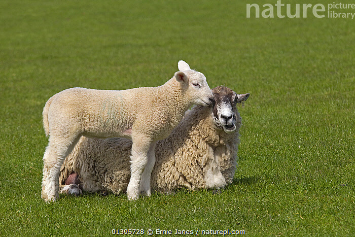 Domestic sheep (Ovis aries) lamb in meadow standing next to Ewe, UK, March.  ,  BABIES,ENGLAND,EUROPE,GRASS,GREEN,GROUPS,JUVENILE,PLAY,PLAYING,SPRING,UK,YOUNG,Plants,Communication,United Kingdom,Goats,Antelopes  ,  Ernie Janes