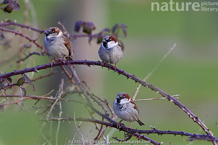 House sparrow (Passer domesticus) three males perched in farm hedgerow, UK, February.  ,  BIRDS,BRANCHES,COUNTRYSIDE,EUROPE,HEDGE,MALES,PASSERIDAE,SONGBIRDS,SPARROWS,THREE,UK,VERTEBRATES,WINTER,United Kingdom  ,  Ernie Janes