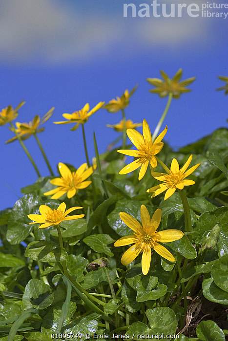 Lesser celedines (Ranunculus ficaria) growing in hedgerow, UK, March.  ,  BLUE,BUTTERCUP,CLOSE UPS,COUNTRYSIDE,DICOTYLEDONS,EUROPE,FLOWERS,HEDGE,PLANTS,RANUNCULACEAE,SKY,SPRING,UK,VERTICAL,YELLOW,United Kingdom  ,  Ernie Janes