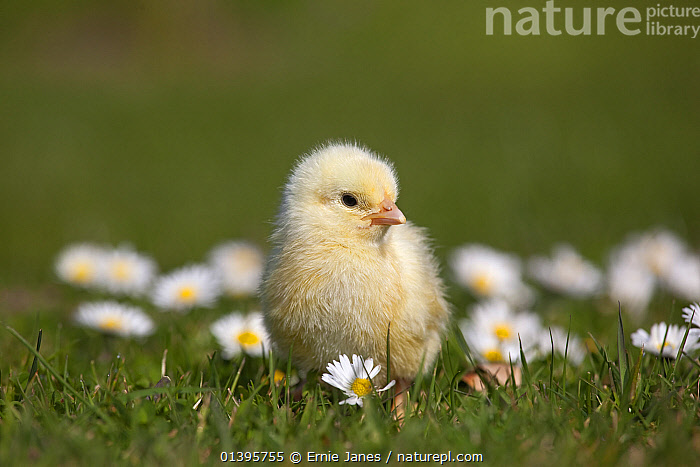 Domestic chicken (Gallus gallus domesticus) day old chick newly hatched standing in amongst Daises  UK, March.  ,  BABIES,BRASSICA,BRASSICACEAE,COLOURFUL,CUTE,DICOTYLEDONS,EUROPE,FLOWERS,FLUFFY,JUVENILE,PLANTS,POULTRY,SPRING,UK,YOUNG,United Kingdom  ,  Ernie Janes