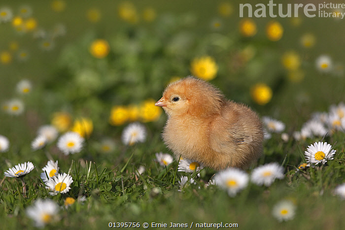 Domestic chicken (Gallus gallus domesticus) newly hatched day  chick  standing in amongst Daises  UK, March.  ,  BABIES,BIRDS,CHICKENS,COLOURFUL,CUTE,EUROPE,FLOWERS,FLUFFY,FOWL,HEN,JUVENILE,POULTRY,SPRING,UK,YOUNG,United Kingdom  ,  Ernie Janes