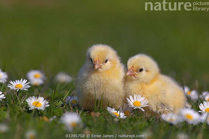 Domestic chicken (Gallus gallus domesticus) day old chicks newly hatched in amongst Daises  UK, March.  ,  BABIES,BIRDS,CHICKENS,COLOURFUL,CUTE,EUROPE,FLOWERS,FLUFFY,FOWL,HEN,JUVENILE,POULTRY,SPRING,UK,YOUNG,United Kingdom  ,  Ernie Janes