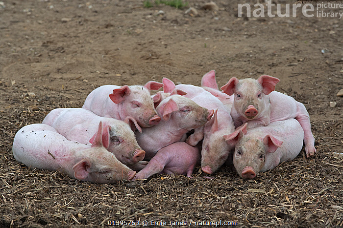 Domestic pig (Sus scrofa domestica) group of piglets sleeping in heap, UK, August.  ,  ARTIODACTYLA,BABIES,BEHAVIOUR,CUTE,EUROPE,FARMS,FARMYARD,FREE RANGE,GROUPS,JUVENILE,LIVESTOCK,MAMMALS,OUTDOORS,PIGS,PINK,SLEEPING,SUIDAE,UK,VERTEBRATES,YOUNG,United Kingdom  ,  Ernie Janes