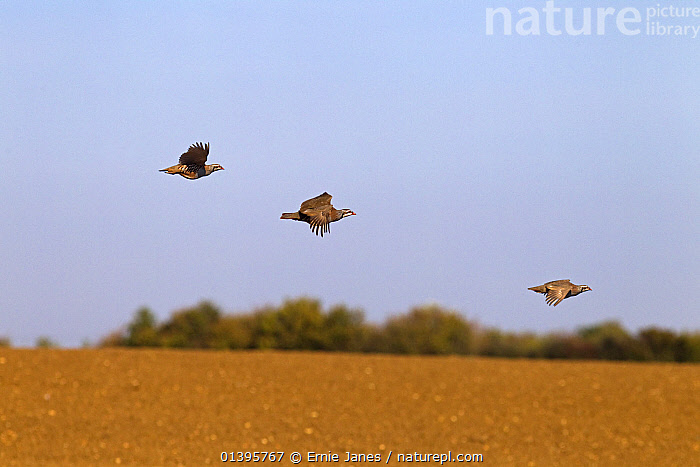 Red legged partridges (Alectoris rufa) three in flight, being driven on shoot, UK, October.  ,  AUTUMN,BIRDS,EUROPE,FARMLAND,FLYING,GALLIFORMES,GAME BIRDS,HUNTING,LEISURE,MAN,PARTRIDGE,PEOPLE,SHOOTING,SPORTS,TWO,UK,VERTEBRATES,United Kingdom  ,  Ernie Janes