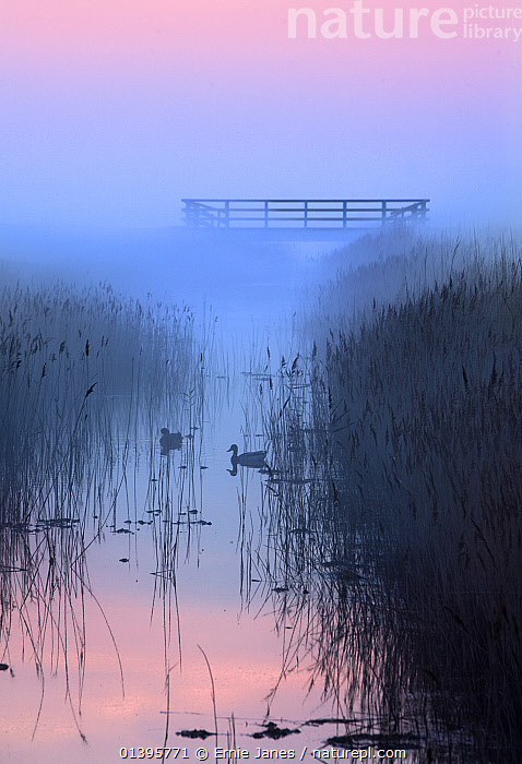 Silhouette of ducks and reeds on marshes at sunset, Salthouse, Misty , Norfolk, UK, March 2012.  ,  ARTY SHOTS,ATMOSPHERIC,BIRDS,DUCKS,ENGLAND,EUROPE,LANDSCAPES,MARSHES,MIST,PINK,RESERVE,SUNSET,UK,VERTICAL,WATER,WETLANDS,United Kingdom  ,  Ernie Janes