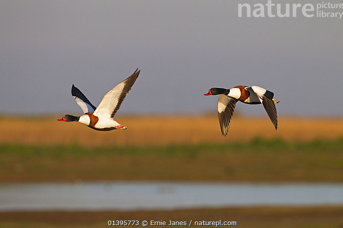 Shelduck (Tadorna tadorna) two in flight over wetland, UK, March.  ,  ACTION,ANATIDAE,BIRDS,COLOURFUL,DUCK,DUCKS,EUROPE,FLYING,SPRING,TWO,UK,VERTEBRATES,WATER,WATERFOWL,WETLANDS,United Kingdom  ,  Ernie Janes