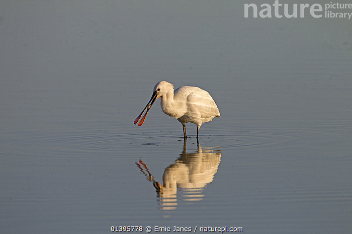 White spoonbill (Platalea leucorodia) feeding in water, Cley marshes, Norfolk, UK, March  ,  BIRDS,COASTS,ENGLAND,EUROPE,FEEDING,FISH,MARSHES,MIGRANT,REFLECTIONS,RESERVE,SPOONBILLS,UK,VERTEBRATES,WATER,WETLANDS,WHITE,United Kingdom  ,  Ernie Janes