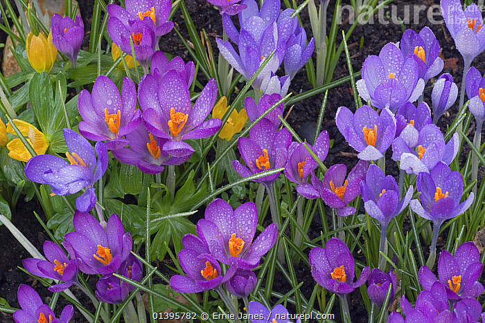 Spring Crocus and Winter Aconites in Garden Setting Norfolk March  ,  ACONITES,BULBS,COLOUR,CROCUS,CULTIVATED,ENGLAND,EUROPE,FLOWERS,GARDENS,IRIDACEAE,MONOCOTYLEDONS,PLANTS,PRETTY,SPRING,UK,United Kingdom  ,  Ernie Janes