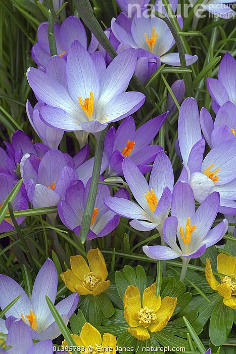 Spring Crocus and Winter Aconites in Garden Setting Norfolk March  ,  ACONITES,BULBS,COLOUR,CROCUS,CULTIVATED,ENGLAND,EUROPE,FLOWERS,GARDENS,IRIDACEAE,MONOCOTYLEDONS,PLANTS,PRETTY,SPRING,UK,VERTICAL,United Kingdom  ,  Ernie Janes