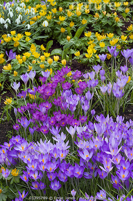 Spring Crocus and Winter Aconites in Garden Setting Norfolk March  ,  ACONITES,BULBS,COLOURFUL,CROCUS,CULTIVATED,ENGLAND,EUROPE,FLOWERS,GARDENS,IRIDACEAE,MONOCOTYLEDONS,PLANTS,PRETTY,SPRING,UK,VERTICAL,United Kingdom  ,  Ernie Janes