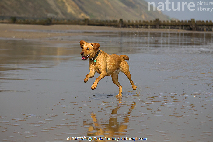 Yellow Labrador running along Norfolk beach, UK, April 2012  ,  ACTION,BEACHES,BEHAVIOUR,CANIDAE,COASTS,DOGS,ENGLAND,ENJOYMENT,EUROPE,GUNDOGS,LARGE DOGS,LITTORAL,PETS,RUNNING,UK,VERTEBRATES,Intertidal,United Kingdom,Canids  ,  Ernie Janes
