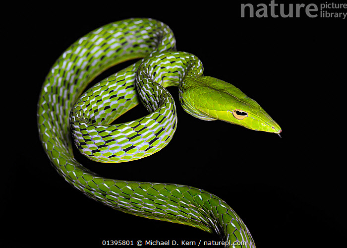 Asian vine / Oriental whip snake (Ahaetulla prasina) captive, from Asia  ,  ASIAN VINE SNAKE,BLACK BACKGROUND,COLUBRIDS,CUTOUT,GREEN,ORIENTAL WHIP SNAKE,PATTERNS,REPTILES,SNAKES,SOUTH EAST ASIA,VERTEBRATES  ,  Michael D. Kern