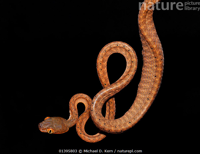 Black headed cat eye snake (Boiga nigriceps) captive, from South East Asia  ,  BLACK BACKGROUND,COLUBRIDS,CUTOUT,REPTILES,SHAPES,SNAKES,SOUTH EAST ASIA,VERTEBRATES  ,  Michael D. Kern