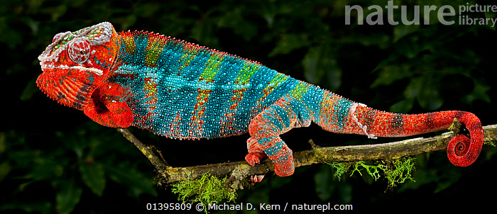 Panther chameleon (Furcifer pardalis) coloured red and blue, walking along branch, captive, from  Madagascar  ,  BLUE,CHAMAELEO PARDALIS,CHAMELEONS,COLOUR CHANGES,COLOURFUL,LIZARDS,MADAGASCAR,PROFILE,RED,REPTILES,VERTEBRATES,,Lizards,,,Lizards,  ,  Michael D. Kern
