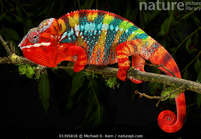 Panther chameleon (Furcifer pardalis) striped red, blue, yellow and green, on branch, captive, from Madagascar  ,  CHAMAELEO PARDALIS,CHAMELEONS,COLOUR CHANGES,COLOURFUL,LIZARDS,MADAGASCAR,PROFILE,RED,REPTILES,STRIPED,STRIPES,VERTEBRATES,,Lizards,,,Lizards,  ,  Michael D. Kern
