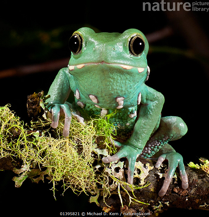 Waxy monkey tree frog (Phyllomedusa sauvagii) captive, from Central and South America  ,  AMPHIBIANS, Anura, central america, EYES, FROGS, GREEN, looking at camera, PORTRAITS, south america, TREE-FROGS, VERTEBRATES  ,  Michael D. Kern