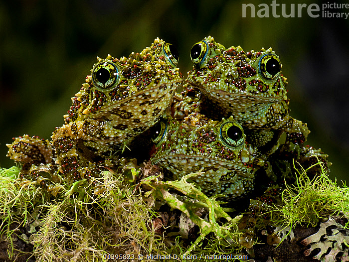 Vietnamese Mossy Frog (Theloderma corticale)  three camouflaged against moss, captive, from Vietnam  ,  AMPHIBIANS,CAMOUFLAGE,CRYPTIC,CUTE,EYES,GREEN,GROUPS,MOSS,MOSSES,SOUTH EAST ASIA,THREE,TREE FROGS,VERTEBRATES,VIETNAM,Anura,Frogs  ,  Michael D. Kern