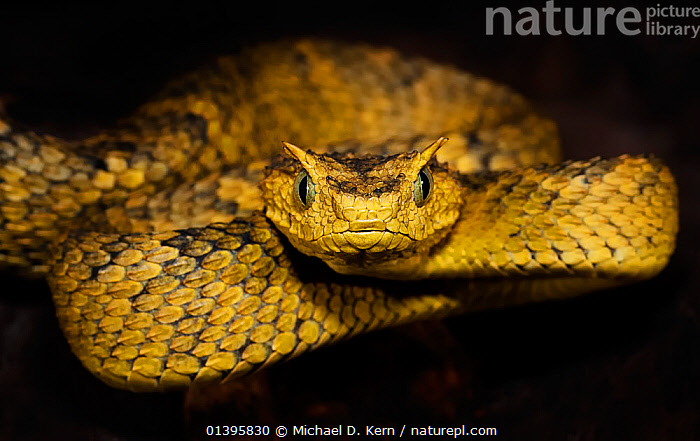 Usambara bush viper (Atheris ceratophora)  captive, from Tanzania, vulnerable species  ,  AFRICA,EAST AFRICA,ENDANGERED,EYELASH BUSH VIPER,EYES,HORNED BUSH VIPER,LOOKING AT CAMERA,PORTRAITS,REPTILES,SNAKE,SNAKES,VERTEBRATES,VIPERS,VULNERABLE  ,  Michael D. Kern