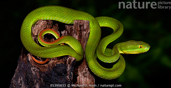 Green / White-lipped tree viper (Cryptelytrops / Trimeresurus albolabris), captive, from SE Asia  ,  GREEN, REPTILES, Snake, SNAKES, SOUTH-EAST-ASIA, Venomous, VERTEBRATES, VIPERS,Asia  ,  Michael D. Kern