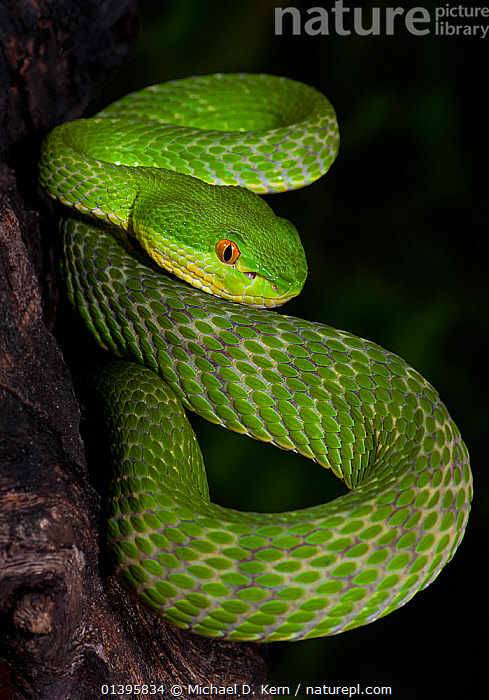 Green / White-lipped tree viper (Cryptelytrops / Trimeresurus albolabris), captive, from SE Asia  ,  GREEN, REPTILES, Snake, SNAKES, SOUTH-EAST-ASIA, Venomous, VERTEBRATES, VERTICAL, VIPERS,Asia  ,  Michael D. Kern