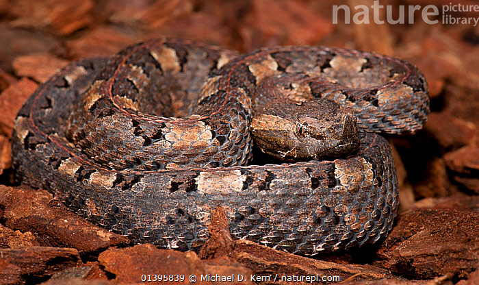 Hognosed Pit Viper (Porthidium nasutum) captive, from Central and South America and Caribbean  ,  CARIBBEAN,CENTRAL AMERICA,PATTERNS,REPTILES,SNAKE,SNAKES,SOUTH AMERICA,VERTEBRATES,VIPERIDAE,VIPERS,West Indies  ,  Michael D. Kern
