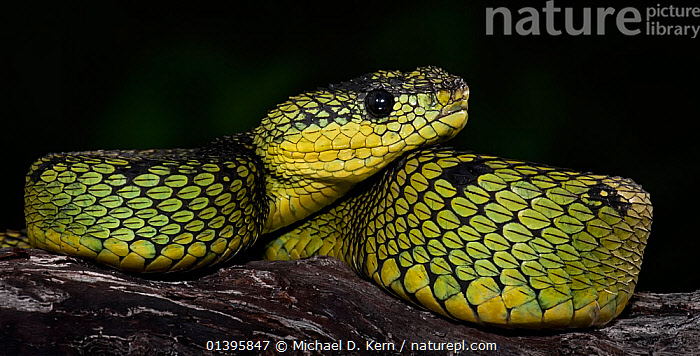 Great Lakes / Black and green bush viper (Atheris nitschei) captive, from Africa  ,  GREEN,REPTILES,SNAKES,VERTEBRATES,VIPERS  ,  Michael D. Kern