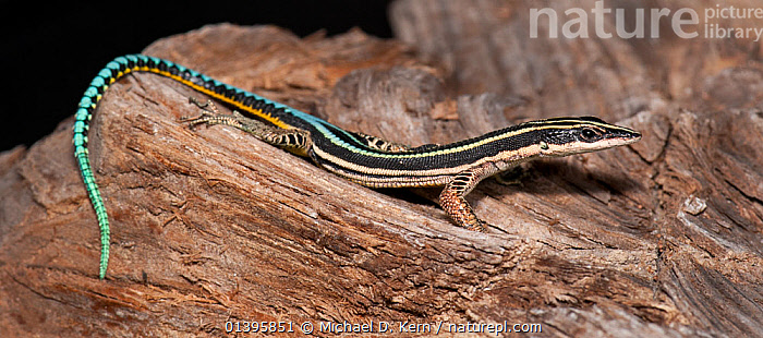 Neon blue gliding lizard (Holaspis guentheri) captive, from West Africa  ,  AFRICA,BLUE,COLOURFUL,LACERTIDAE,LIZARDS,REPTILES,VERTEBRATES  ,  Michael D. Kern