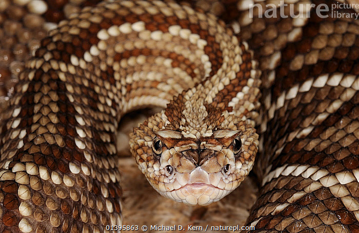 South American rattlesnake (Crotalus durissus cumanensis) captive, from Venezuela and Colombia  ,  EYES,LOOKING AT CAMERA,PATTERNS,PORTRAITS,REPTILES,SNAKES,VERTEBRATES,VIPERS  ,  Michael D. Kern