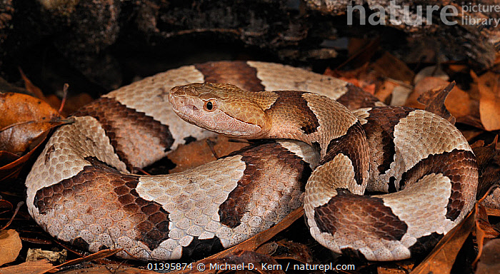Southern copperhead snake (Agkistrodon contortrix contortrix) captive, from southern USA  ,  PATTERNS,REPTILES,SNAKES,USA,VERTEBRATES,VIPERS,North America  ,  Michael D. Kern