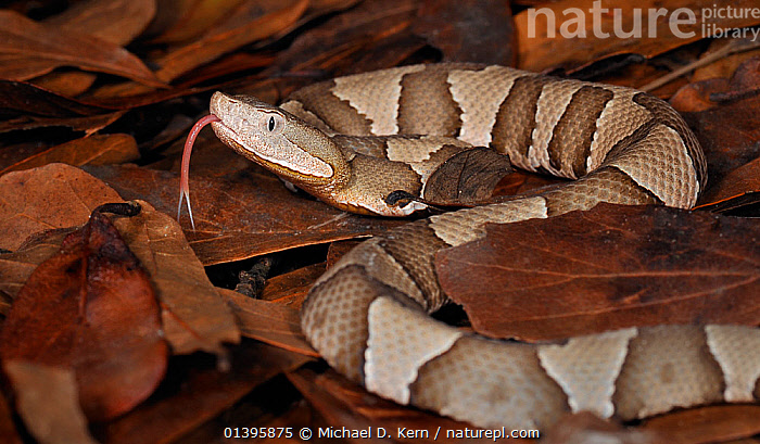 Southern copperhead snake (Agkistrodon contortrix contortrix) captive, from southern USA  ,  LEAVES,PATTERNS,REPTILES,SNAKES,TONGUES,USA,VERTEBRATES,VIPERS,North America  ,  Michael D. Kern