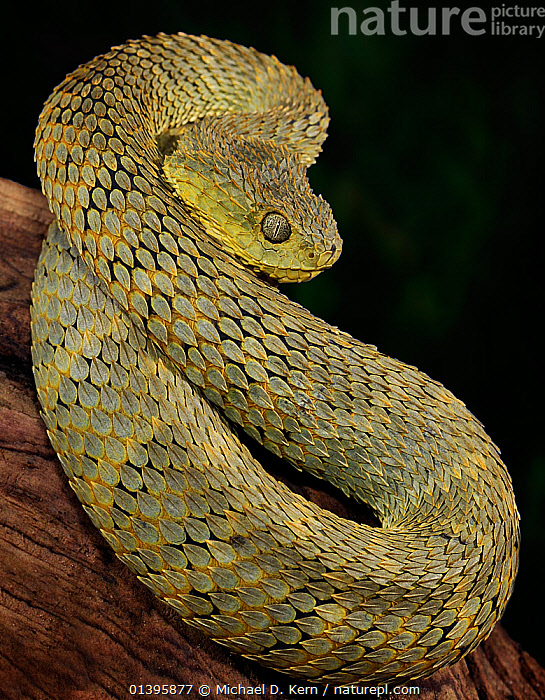 Broadley's Bush Viper (Atheris broadleyi) captive from Cameroon and Central African Republic  ,  CENTRAL AFRICA,PORTRAITS,REPTILES,SNAKES,VERTEBRATES,VERTICAL,VIPERIDAE,Vipers  ,  Michael D. Kern