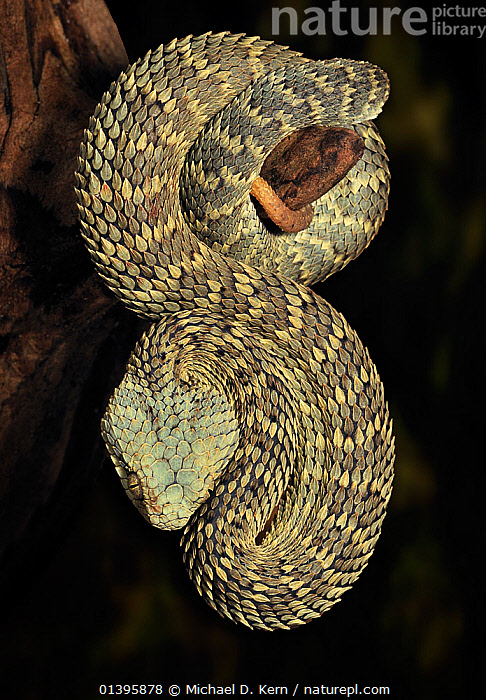 African / Variable Bush Viper (Atheris squamigera) captive, from West and Central Africa  ,  BLACK BACKGROUND,CENTRAL AFRICA,CUTOUT,PORTRAITS,REPTILES,SNAKES,VERTEBRATES,VERTICAL,VIPERS  ,  Michael D. Kern