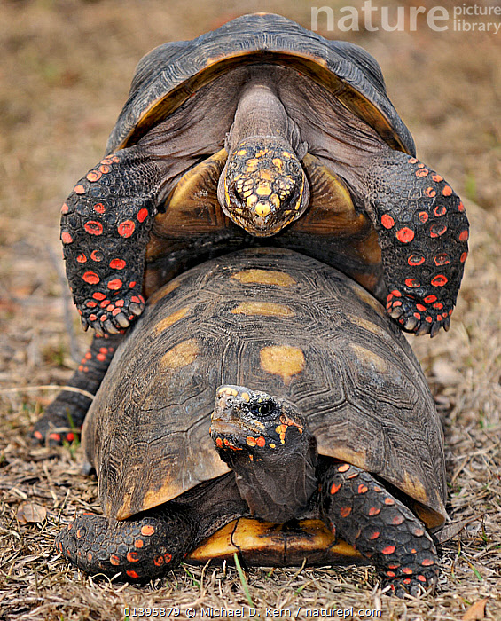 Red footed tortoise (Geochelone / Chelonoidis carbonaria) mating pair, captive from South America, vulnerable species.  ,  CHELONIA,COPULATION,MALE FEMALE PAIR,MATING BEHAVIOUR,REPTILES,SOUTH AMERICA,TORTOISES,VERTEBRATES,VERTICAL,VULNERABLE,Reproduction  ,  Michael D. Kern