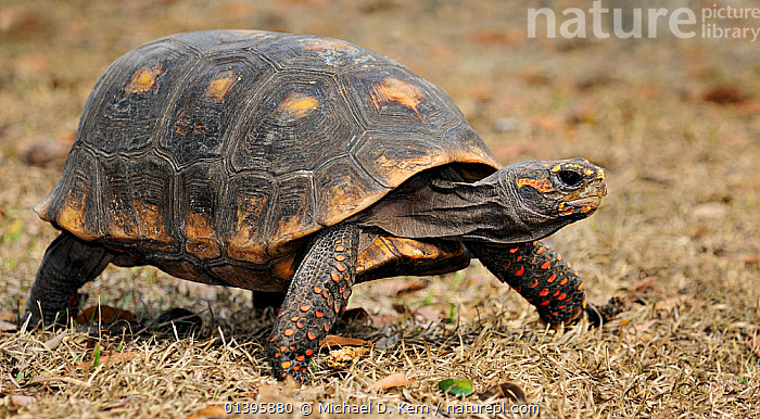 Red footed tortoise (Geochelone / Chelonoidis carbonaria) captive from South America, vulnerable species.  ,  CHELONIA,REPTILES,SOUTH AMERICA,TORTOISES,VERTEBRATES,VULNERABLE,WALKING  ,  Michael D. Kern