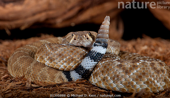 Red Diamond Rattlesnake (Crotalus ruber) captive from USA and Mexico  ,  CENTRAL AMERICA,MEXICO,NORTH AMERICA,PORTRAITS,RATTLE,REPTILES,SNAKES,TAILS,USA,VERTEBRATES,VIPERS  ,  Michael D. Kern