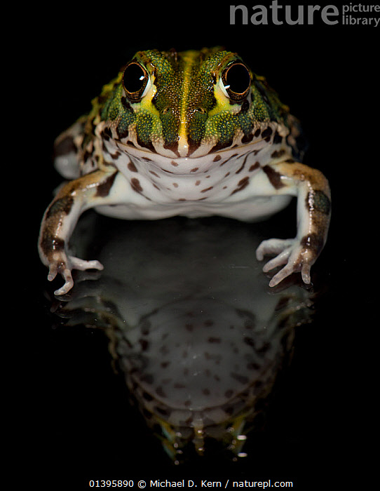 African Bull Frog / Pixie Frog (Pyxicephalus adsperus) captive from Southern Africa  ,  AFRICA,AMPHIBIANS,ANURA,FROGS,REFLECTIONS,SOUTHERN AFRICA,VERTEBRATES,VERTICAL  ,  Michael D. Kern