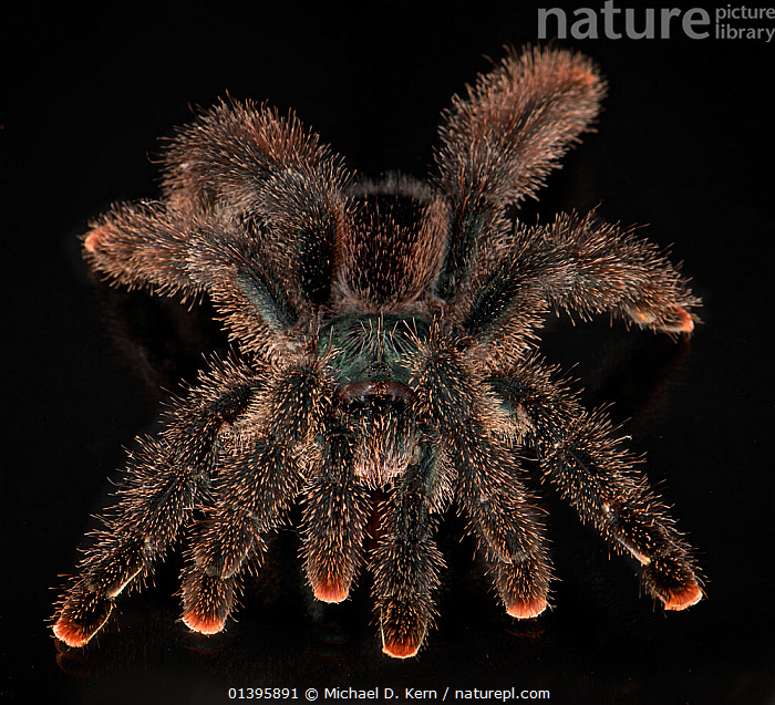 Metallic pinktoe /white toe tarantuala (Avicularia metallica) captive from Colombia  ,  ARACHNIDS,ARTHROPODS,BLACK BACKGROUND,CUTOUT,HAIRY,HIGH ANGLE SHOT,INVERTEBRATES,SOUTH AMERICA,SPIDERS,TARANTULAS  ,  Michael D. Kern
