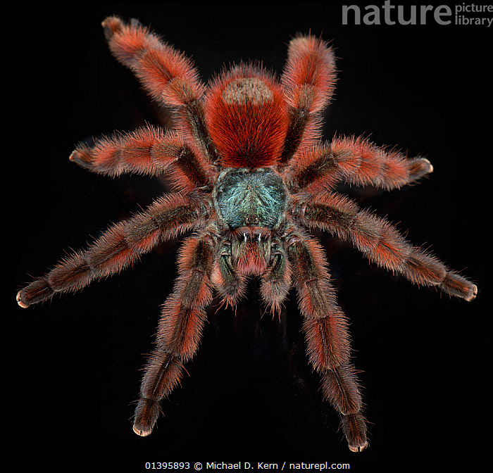 Antilles Pinktoe Tarantualla (Avicularia versicolor) captive, from the Caribbean  ,  ARACHNIDS,ARTHROPODS,CARIBBEAN,HAIRY,HIGH ANGLE SHOT,INVERTEBRATES,SPIDERS,TARANTULAS,West Indies  ,  Michael D. Kern