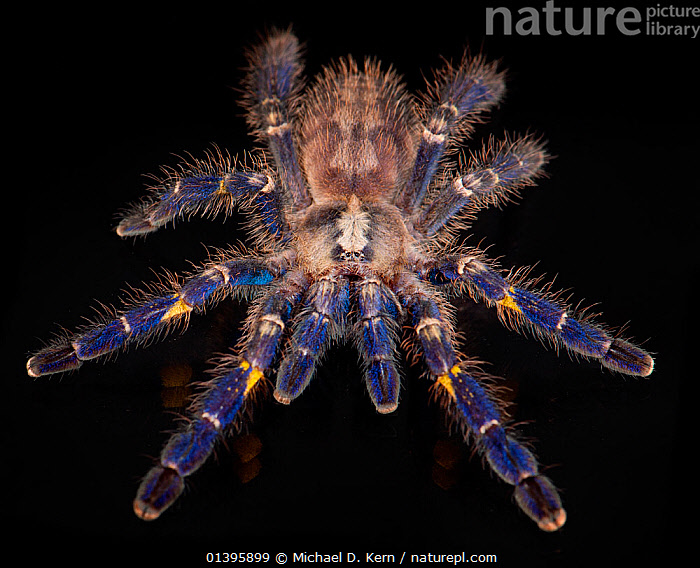 Gooty Sapphire Ornamental Tree Spider (Poecilotheria metallica), captive, from Asia, critically endangered., ARACHNIDS,ASIA,BLACK BACKGROUND,BLUE,CRITICALLY ENDANGERED,CUTOUT,HAIRY,HIGH ANGLE SHOT,INVERTEBRATES,SPIDERS,TARANTULA,TARANTULAS, Michael D. Kern