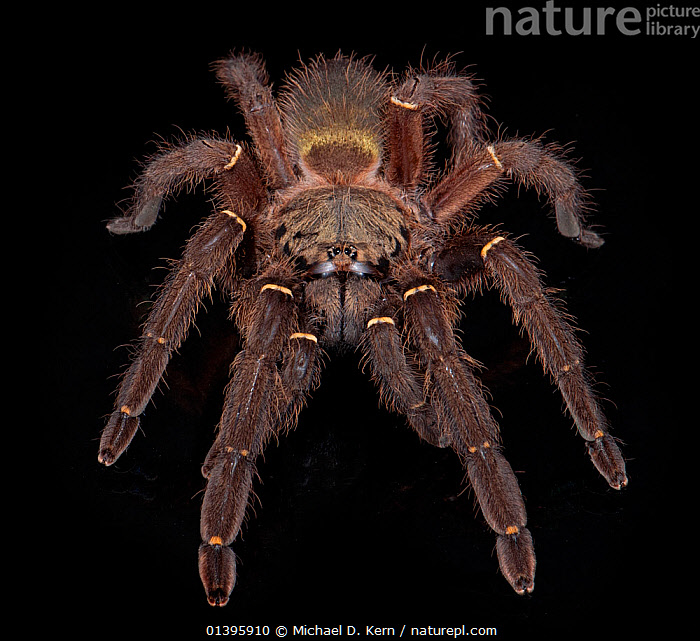 Emerald Skeleton Tarantula (Ephebopus uatuman) captive from South America  ,  ARACHNIDS,ARTHROPODS,BLACK BACKGROUND,CUTOUT,HAIRY,HIGH ANGLE SHOT,INVERTEBRATES,SPIDERS,TARANTULAS,THERAPHOSIDAE  ,  Michael D. Kern