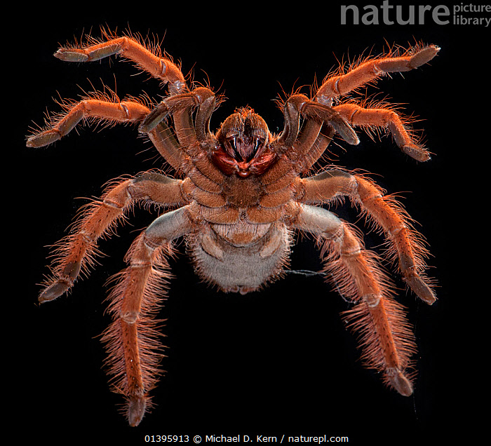 Columbian Giant Redleg Tarantula, (Megaphobema robustum) ventral view, captive from South America  ,  ARACHNIDS,ARTHROPODS,BLACK BACKGROUND,CUTOUT,HAIRY,INVERTEBRATES,RED,SOUTH AMERICA,SPIDERS,TARANTULAS  ,  Michael D. Kern