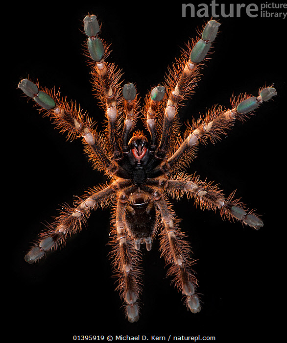 Ivory Ornamental Tarantula (Poecilotheria subfusca) ventral view, captive from Sri Lanka  ,  ARTHROPODS,BLACK BACKGROUND,CUTOUT,HAIRY,INVERTEBRATES,SPIDERS,TARANTULAS,THERAPHOSIDAE,VERTICAL  ,  Michael D. Kern