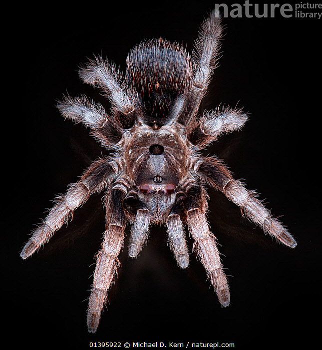 Costa Rican Horned Tarantula (Sphaerobothria hoffmanni) captive from South America  ,  ARTHROPODS,BLACK BACKGROUND,CUTOUT,HAIRY,HIGH ANGLE SHOT,INVERTEBRATES,SOUTH AMERICA,SPIDERS,TARANTULAS,THERAPHOSIDAE  ,  Michael D. Kern