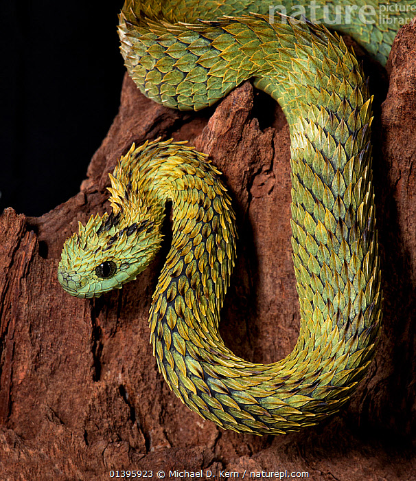 Hairy Bush Viper (Atheris hispida), captive from Central Africa  ,  CENTRAL AFRICA,INVERTEBRATES,PORTRAITS,REPTILES,ROUGH SCALED BUSH VIPER,SCALES,SNAKE,SNAKES,VIPERIDAE,VIPERS  ,  Michael D. Kern