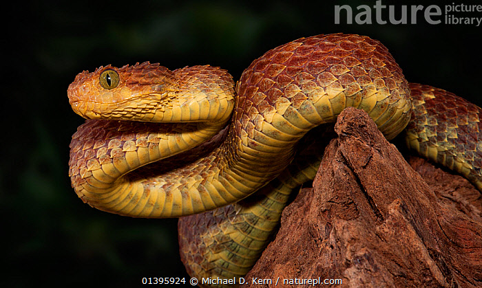 African / variable Bush Viper (Atheris squamigera) captive from West and Central Africa  ,  AFRICA,PORTRAITS,REPTILES,SNAKES,VERTEBRATES,VIPERS  ,  Michael D. Kern