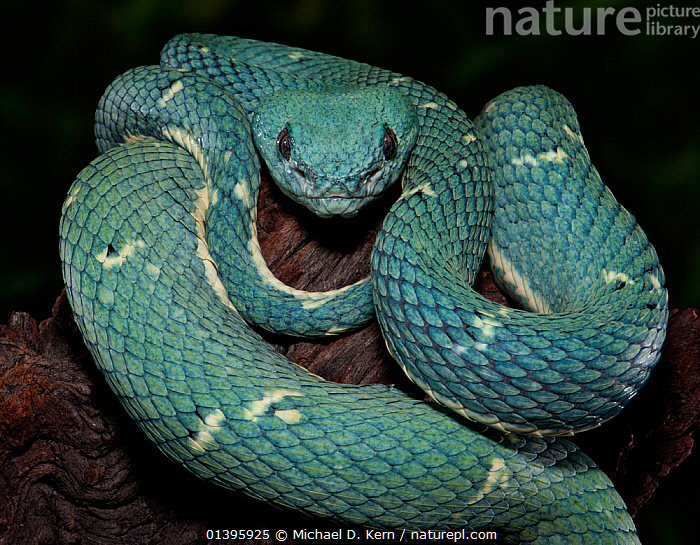 Side-Striped Palm Viper (Bothriechis lateralis) captive from Central America  ,  CENTRAL AMERICA,GREEN,LOOKING AT CAMERA,PIT VIPERS,PORTRAITS,REPTILES,SNAKES,VERTEBRATES,Vipers  ,  Michael D. Kern