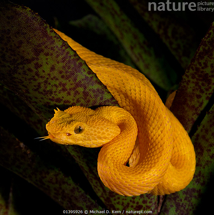 Eyelash Viper (Bothriechis schlegelii), captive, from Central and South America  ,  CENTRAL AMERICA,PITVIPERS,PORTRAITS,REPTILES,SNAKES,SOUTH AMERICA,SQUAMATES,VERTEBRATES,VIPERS,YELLOW  ,  Michael D. Kern